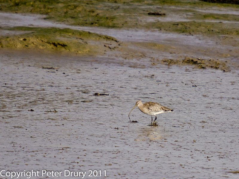 11 March 2011. Curlew in the old oysterbeds. Copyright Peter Drury 2011