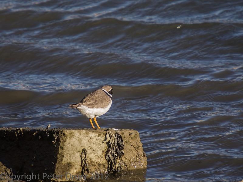 02 Feb 2012. Ringed Plover on the shoreline.