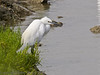 12 Sep 2011 In the northern most Oysterbed bay, this Egret was still fishing.