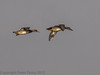 01 February 2012 Gadwall flying in from Langstone Harbour over Budds Farm Lake