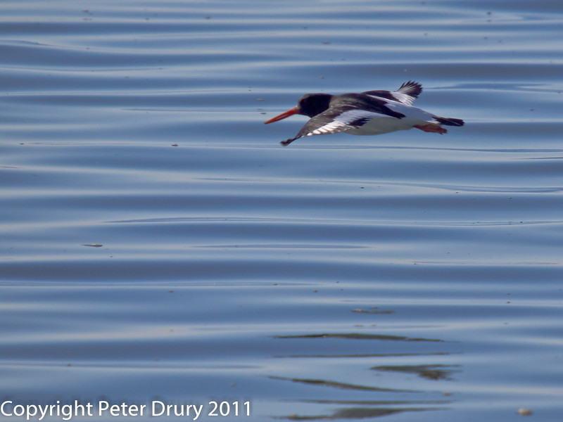 08 February 2011. Oystercatcher at the Oysterbeds. Copyright Peter Drury 2011