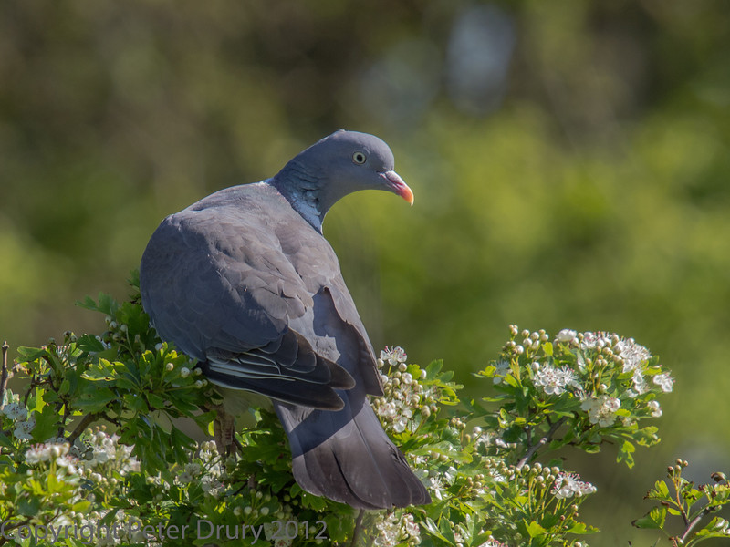 Wood Pigeon resting on a shrub in the meadow alngside the HB Trail.