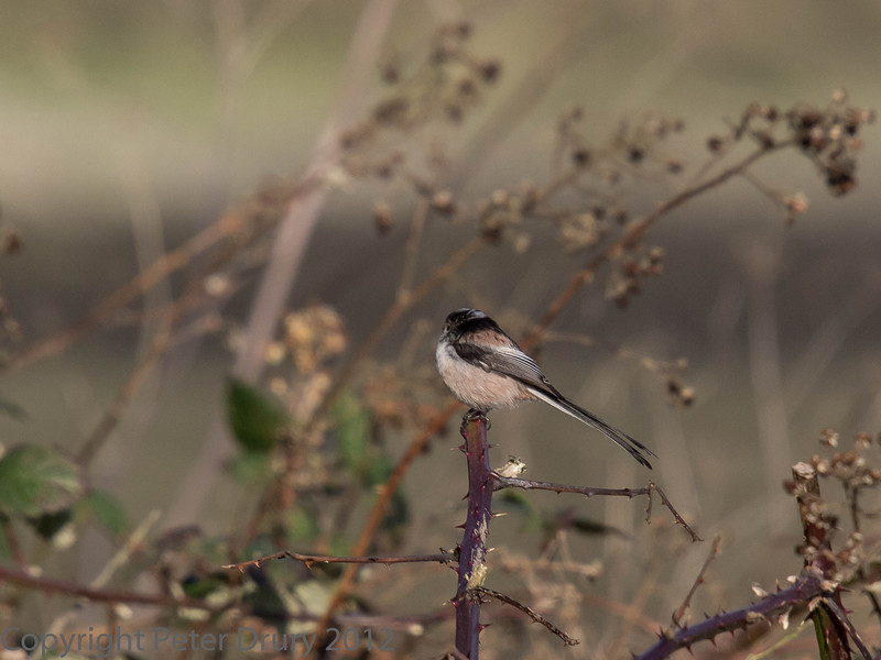 Long-tailed Tit near the Hermitage stream