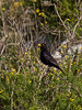 12 April 2011. Blackbird (male) at the Chalk Quarry.  Copyright Peter Drury 2011