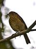 Robin (Erithacus rubecula). Copyright Peter Drury 2010<br /> Juvenile