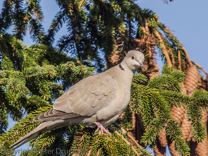 Collared Dove at Widley