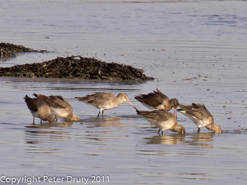 24 February 2011. Black-tailed Godwit in the bay between the bridges. Copyright Peter Drury 2011