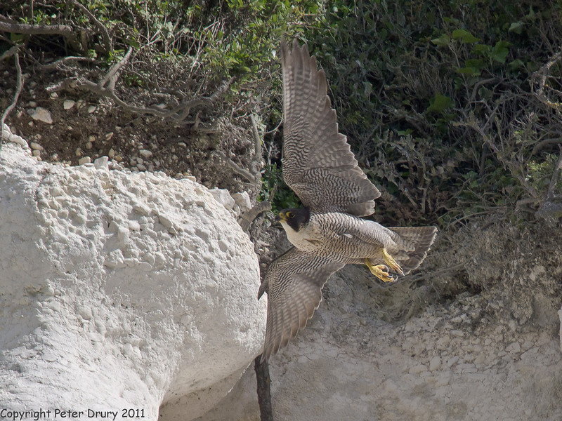 24 May 2011. Peregrine at the Chalk Quarry. Copyright Peter Drury 2011