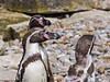 03 July 2011. Humboldt Penguin at Marwell. Copyright Peter Drury 2011