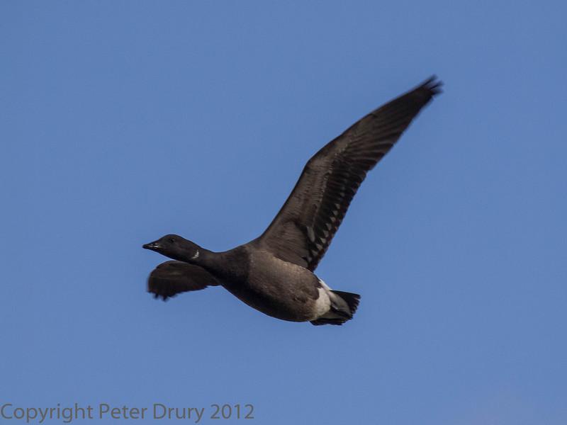 19 Feb 2012 Brent Goose in Farlington Marshes