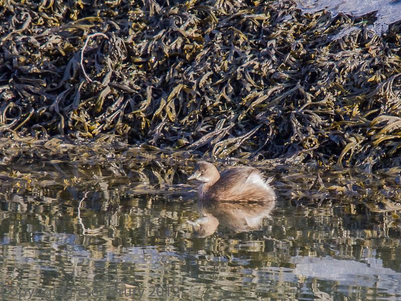 4 Feb 2012 Little Grebe on the Hermitage Stream