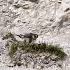 28 March 2011. Peregrine at its 'larder' in the Chalk Quarry.  Copyright Peter Drury 2011