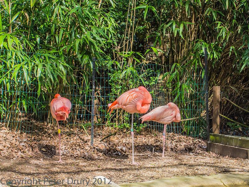 Pink Flamingo at Birdworld, Farnham