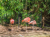 Pink Flamingo at Birdworld, Farnham