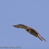 28 May 2012 Peregrine in flight