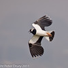 26 March 2011. Lapwing on Farlington Marshes.  Copyright Peter Drury 2011