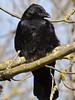 Carrion Crow (Corvus corone corone). Copyright Peter Drury 2010
