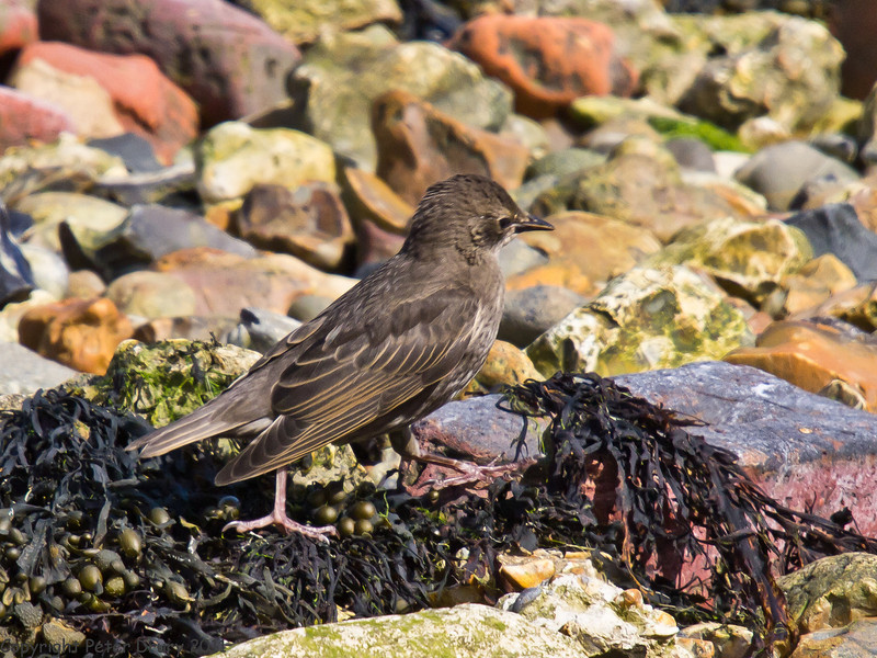 25 May 2011. Juvenile Starling at Milton Common, Langstone Harbour shoreline. Copyright Peter Drury 2011
