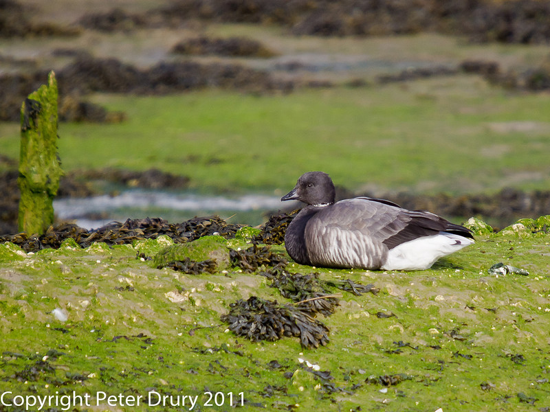 11 March 2011. Brent Goose in the old oysterbeds. Copyright Peter Drury 2011