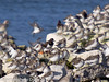17 February 2011. Turnstone, Dunlin and Grey Plover. Copyright Peter Drury 2011