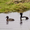25 February 2011. Tufted Ducks at Farlington Marshes. Copyright Peter Drury 2011