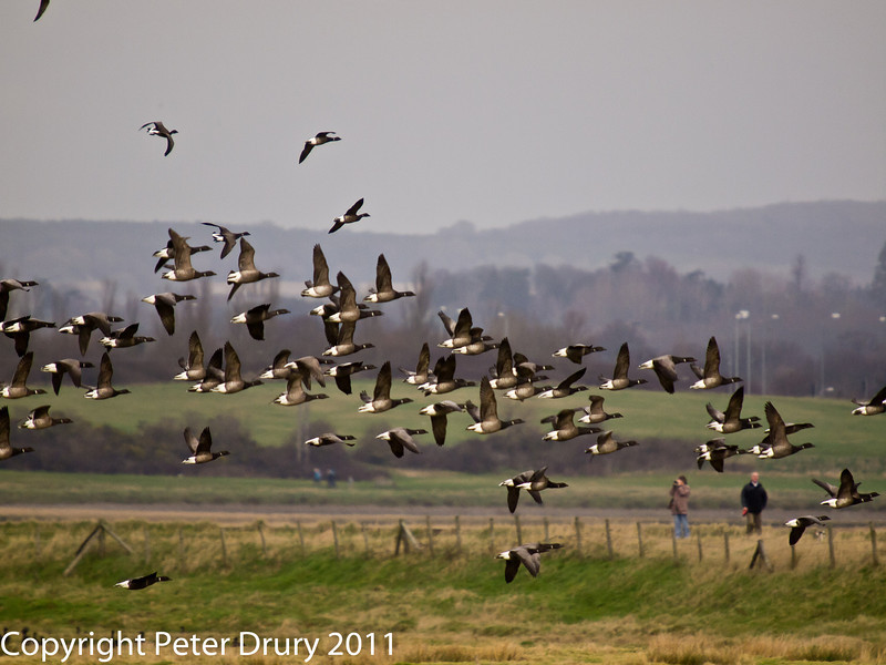 25 February 2011. Brent geese taking off at Farlington Marshes. Copyright Peter Drury 2011