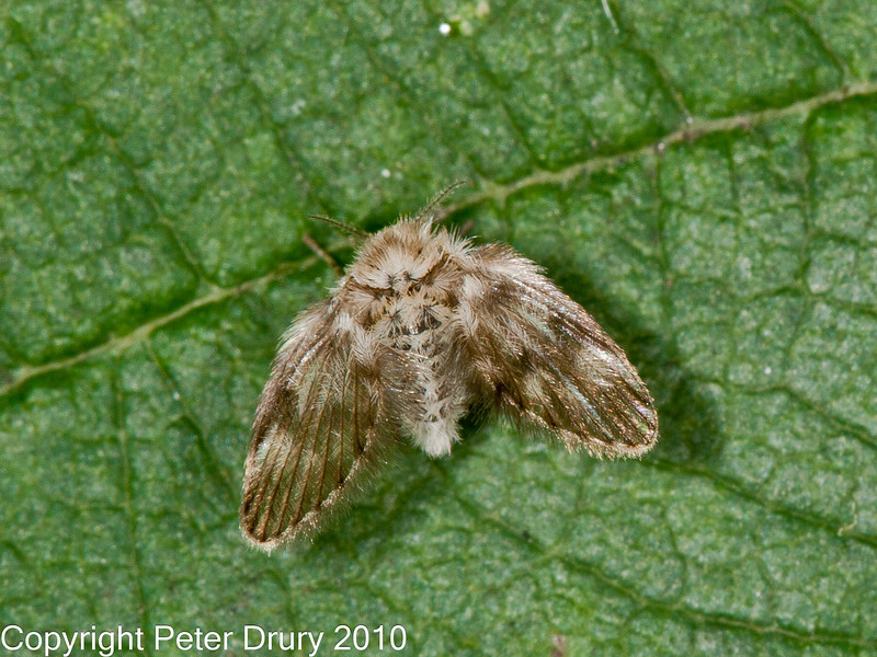 05 Oct 2010 - Moth Fly (Psychodidae) for ID. Copyright Peter Drury 2010