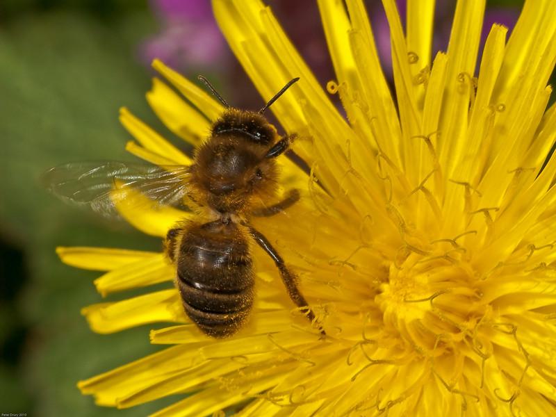 Honey Bee (Apis mellifera). Copyright Peter Drury 2010