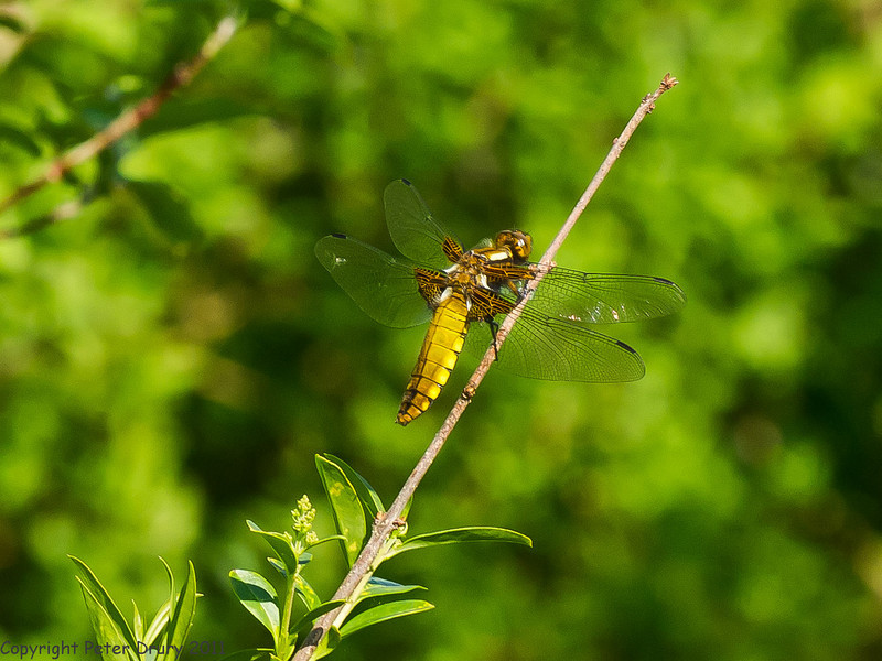 22 April 2011. Broadbody Chaser female seen on Portchester Common. Copyright Peter Drury 2011