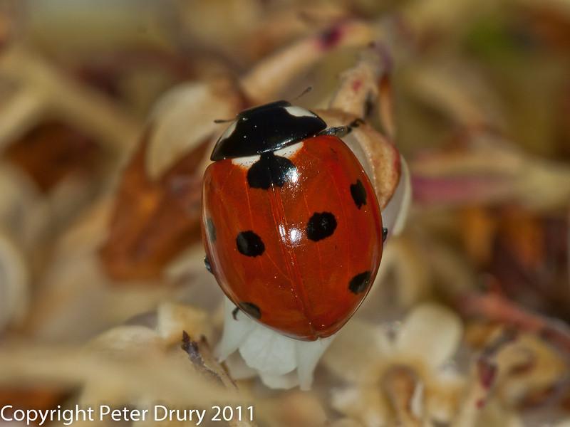 06 April 2011. 7 Spot Ladybird at Widley.  Copyright Peter Drury 2011