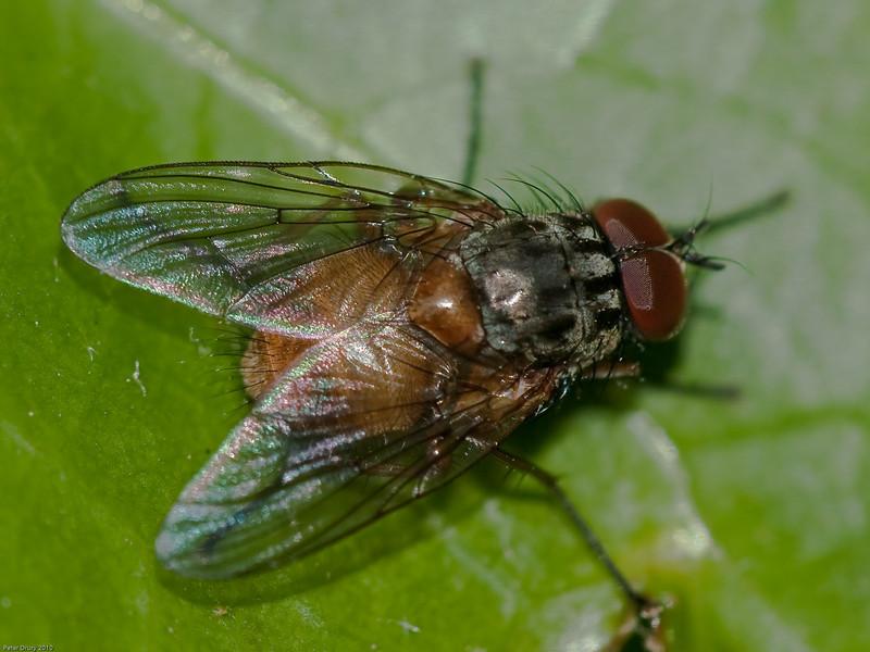 Muscidae, Phaonia sp.. Copyright Peter Drury 2010