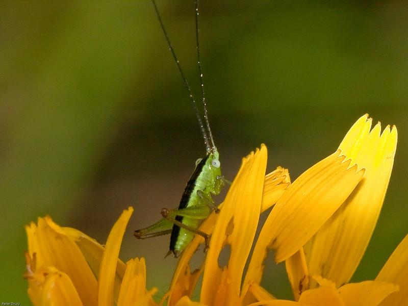 Short-winged Conehead bush-cricket nymph (Conocephalus dorsalis)