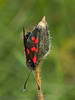 22 Jul 2011 6 spot Burnet moth at Portchester Common.