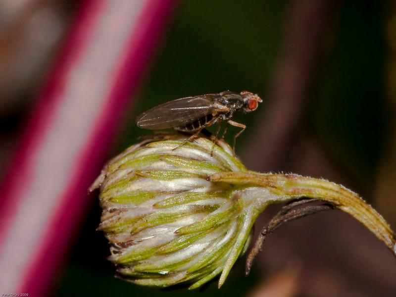 Chymomyza sp. Copyright 2009 Peter Drury
