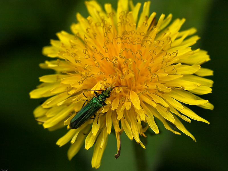 Thick-kneed Flower Beetle (Oedemera nobilis)<br /> This is the female with narrow thighs on rear legs.