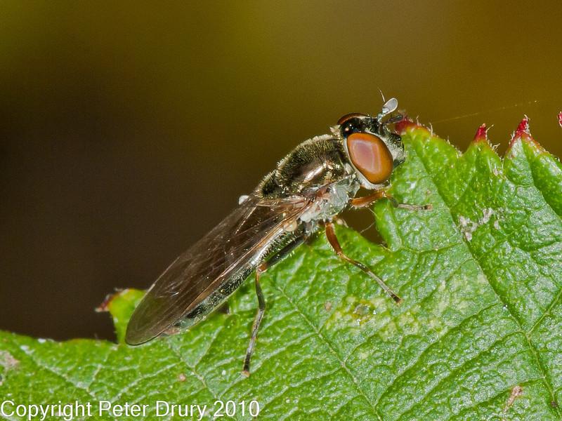 09 Sep 2010 - Platycheirus albimanus (female) at Plant Farm, Waterlooville. Copyright Peter Drury 2010