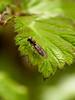 Hoverfly (Syphidae-Syriphinae-Melanostoma scalare). Copyright Peter Drury
