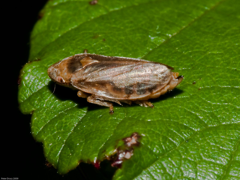 Common Froghopper (Philaenus spumarius). Copyright 2009 Peter Drury