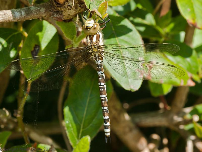 11 Jun 2011. Newly emerged female Southern Hawker (Aeshna cyanea) at Widley. Copyright Peter Drury 2011.