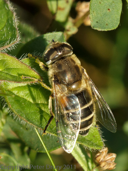 01 October 2011 Eristalis arbustorum at Portchester Common.