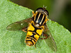 12 Sep 2010 -  Helophilus pendulus seen at Broadmarsh. Copyright Peter Drury 2010