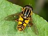 12 Sep 2010 -  Helophilus pendulus seen at Broadmarsh. Copyright Peter Drury 2010
