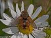 09 Sep 2010 -  Tachina fera at Plant Farm, Waterlooville. Copyright Peter Drury 2010