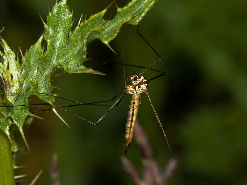 Spotted Crane-fly (Nephrotoma appendiculata) Male. Copyright 2009 Peter Drury