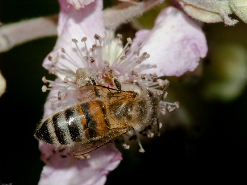 Honey Bee (Apis mellifera). Copyright 2009 Peter Drury