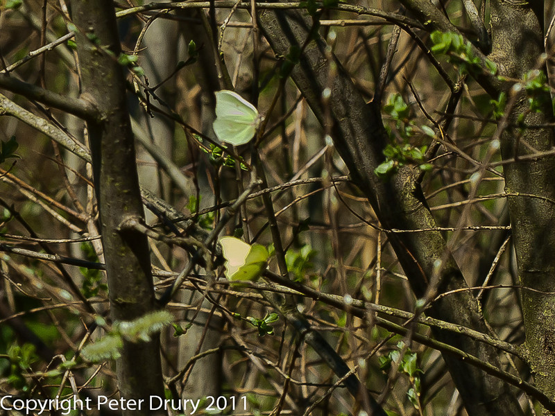 07 April 2011. Brimstone in Creech Wood. Courtship flight. Copyright Peter Drury 2011