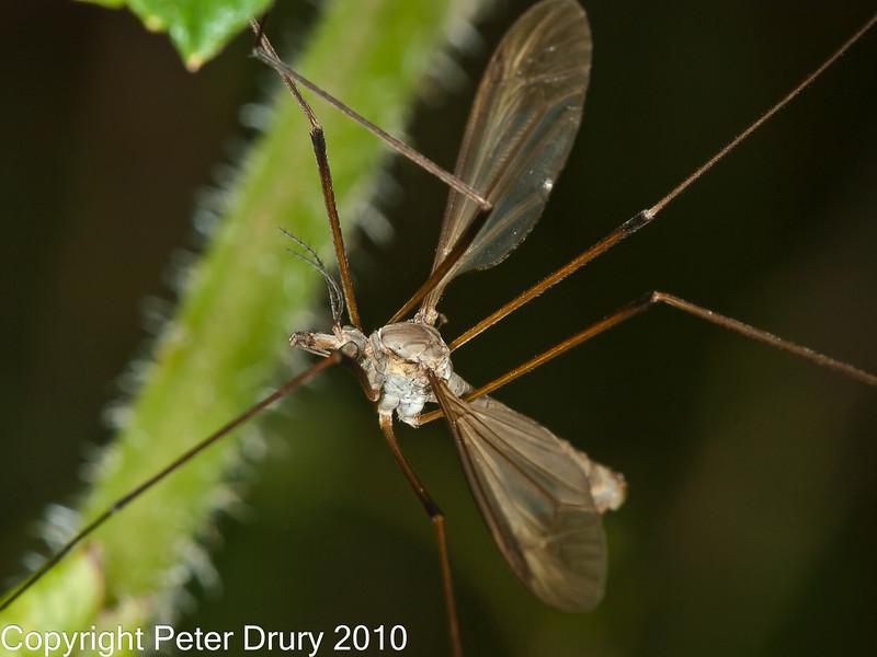 02 Sep 2010 - Cranefly (Tipula paludosa) at Plant Farm. Copyright Peter Drury 2010