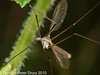 02 Sep 2010 - Cranefly (Tipula paludosa) at Plant Farm. Copyright Peter Drury 2010