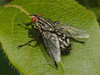 06 May 2010. Flesh fly (Sarcophaga sp.). Copyright Peter Drury 2010