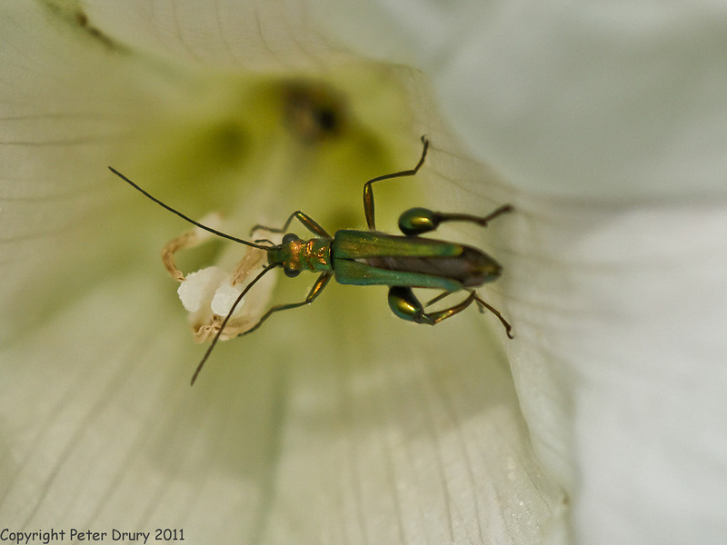 24 Jun 2011. Thick-kneed Flower Beetle at the Chalk Quarry. Copyright Peter Drury 2011